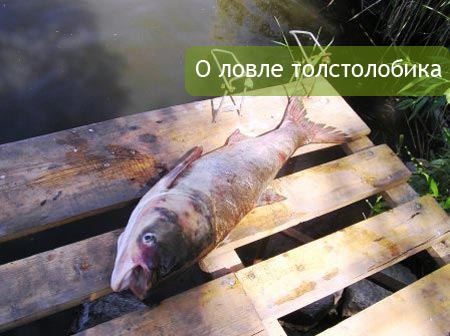 как поймать толстолобика в реальной рыбалке
