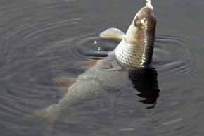 перловка прикормка для рыбы