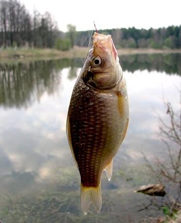 перловка как наживка для рыбалки