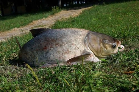 как ловить толстолобика в прудах видео весной