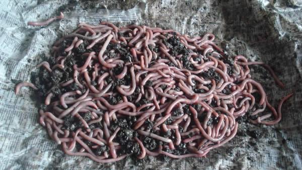 где купить червей для рыбалки челябинск