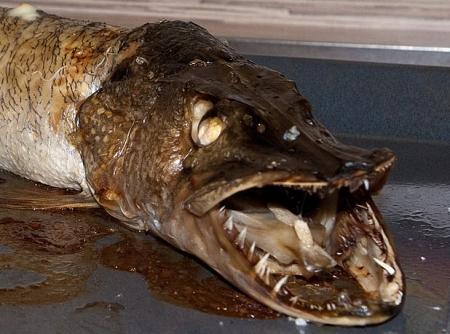 как разводить приманку для рыбы
