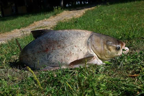 рыбалка карп толстолобика